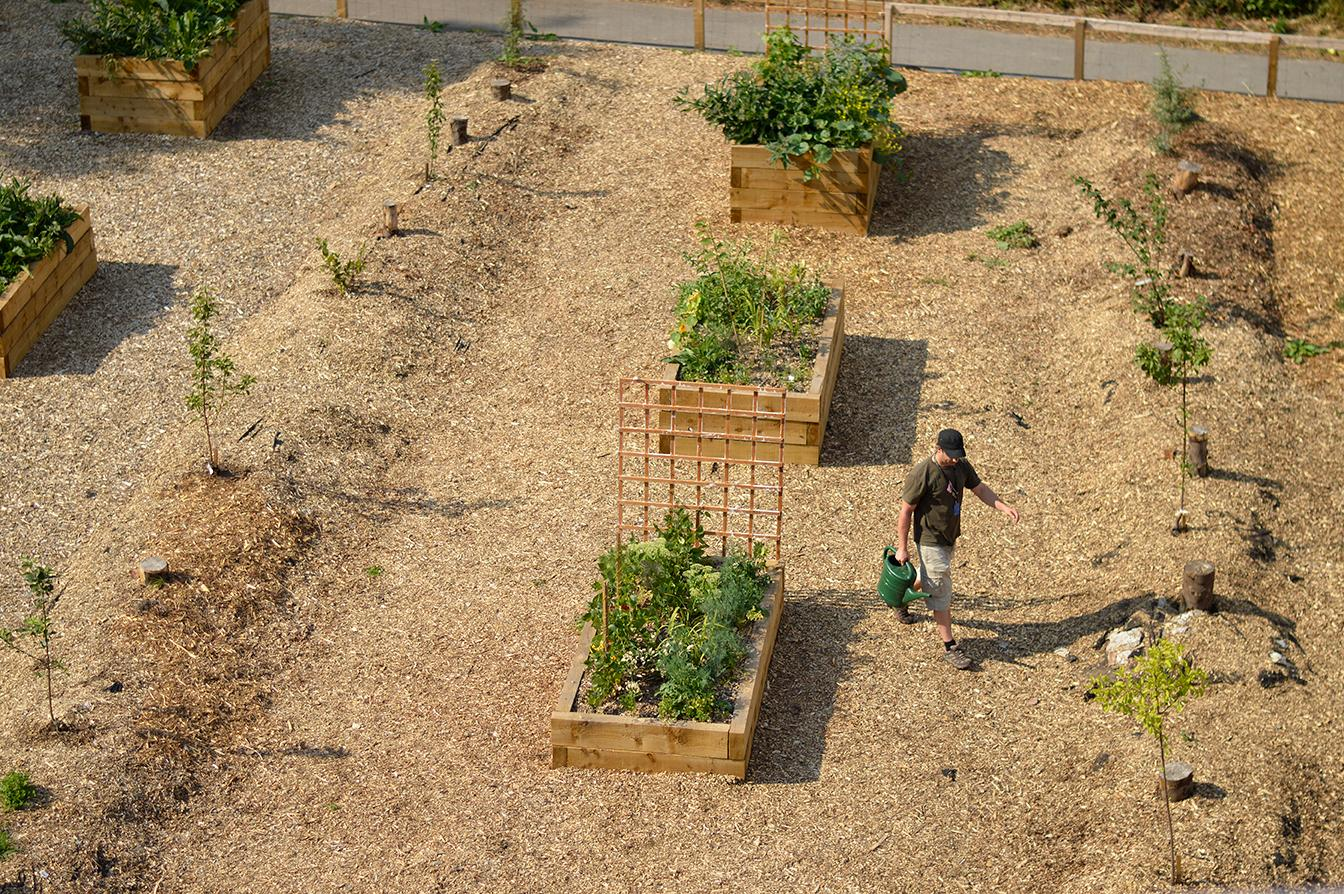 man with a watering can walks away from garden boxes filled with greenery in a community garden